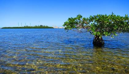 Mangroves off Virginia Key.