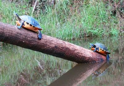Turtles were everywhere along Shell Creek near Punta Gorda