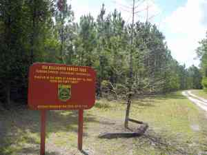 Reforestation of Tiger Bay State Forest