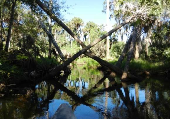 Turkey Creek in Palm Bay fallen palm trees