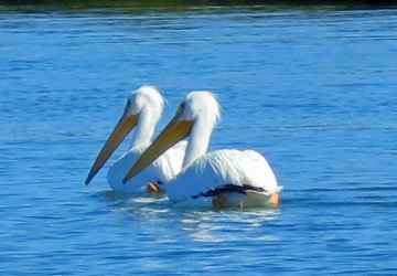 White pelicans visi the Punta Gorda area every winter, migrating from the Grand Teton mountains.