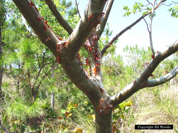 florida native trees shrubs