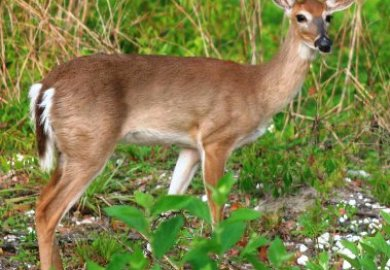 What Do Deer Eat New York Whitetail Deer Hunting