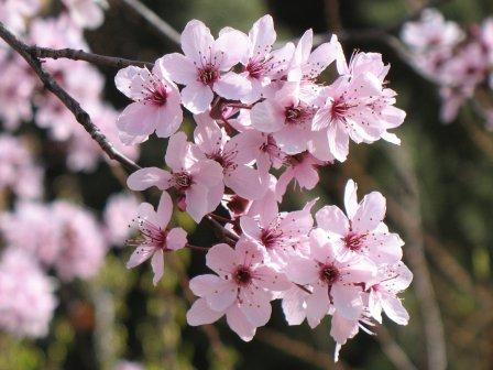 Risultati immagini per cherry plum