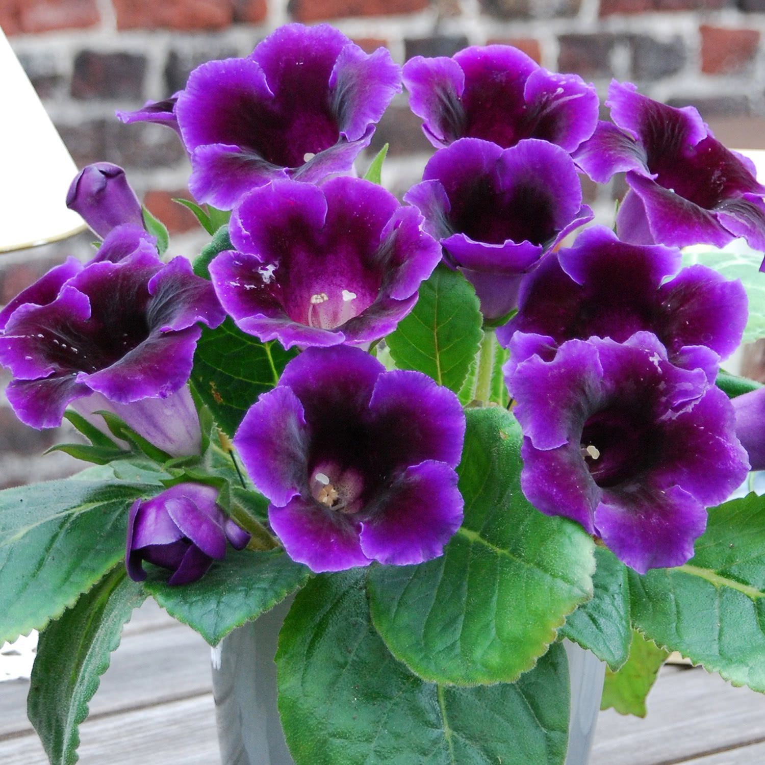 Gloxinia Outdoors  Florissa  Flowers Roses Fruits and Veggies