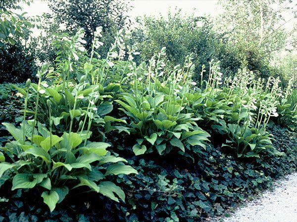 Hostas Sun Tolerant and Slug Resistant  Florissa  Flowers  More