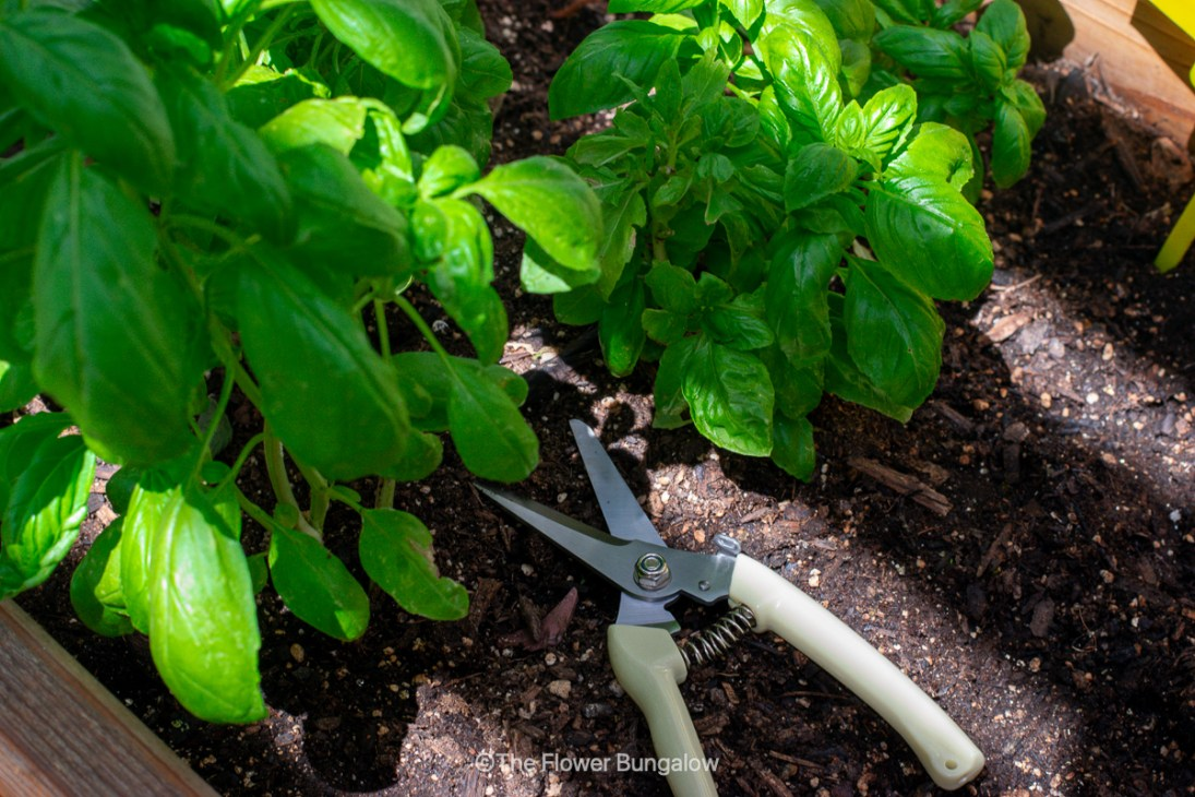 updates-from-home-the-bungalow-gardening-sheers-basil