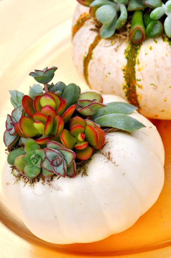 Mini White Pumpkin Succulents