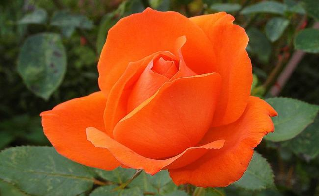 Orange Roses Meaning Pictures Flower Glossary