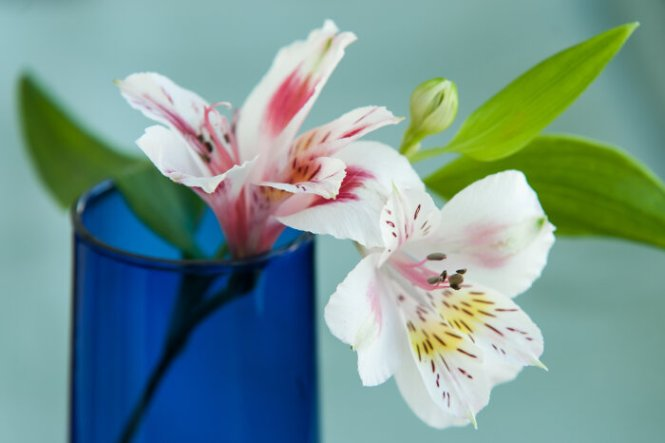flowers alstroemeria  flower, Natural flower