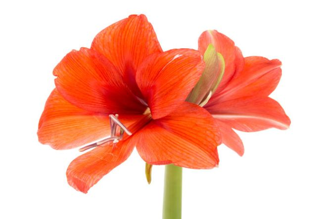 amaryllis flower meaning  flower, Natural flower