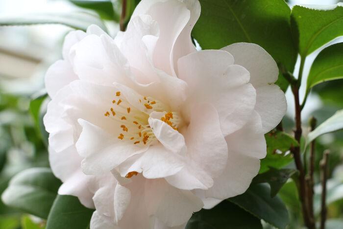camellia flower meaning flower