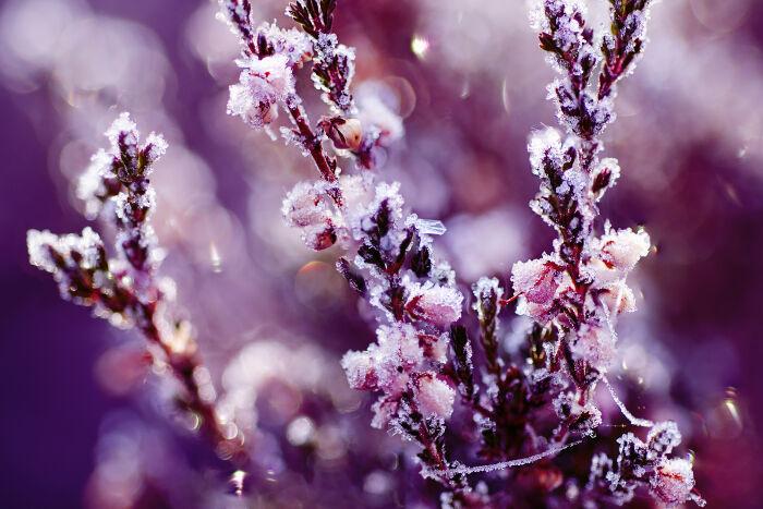Image result for heather flower
