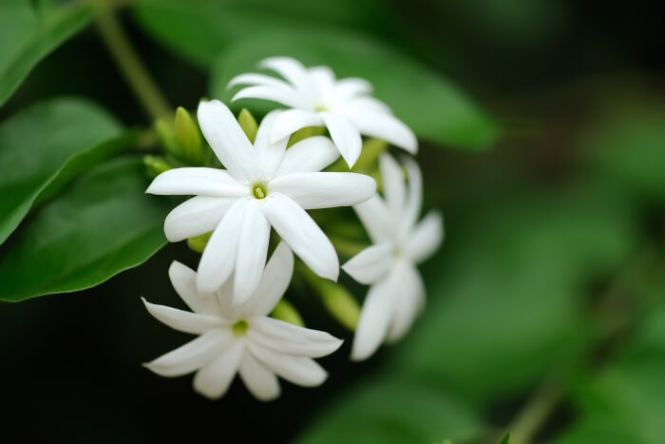 jasmine flower meaning  flower, Natural flower