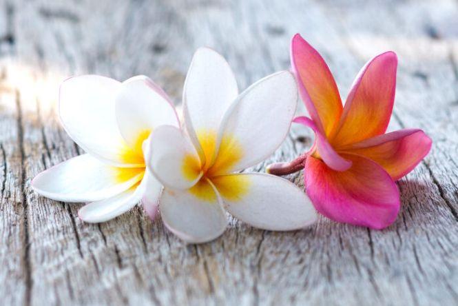 plumeria flower meaning  flower, Natural flower