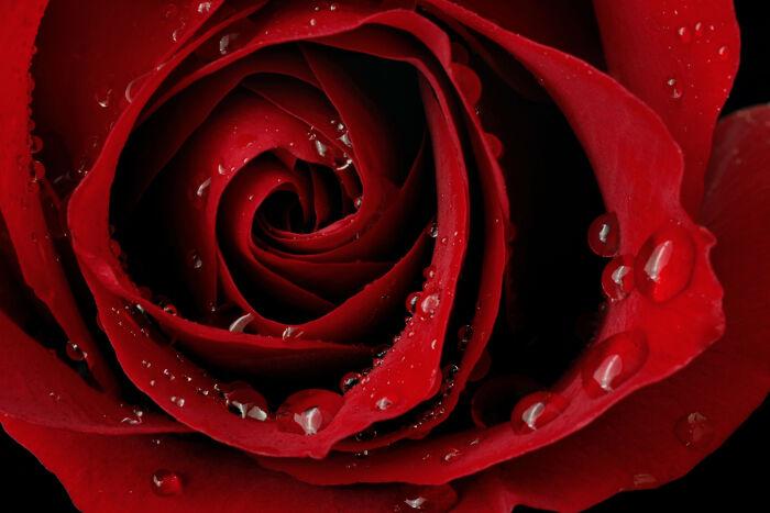 rose flower meaning flower