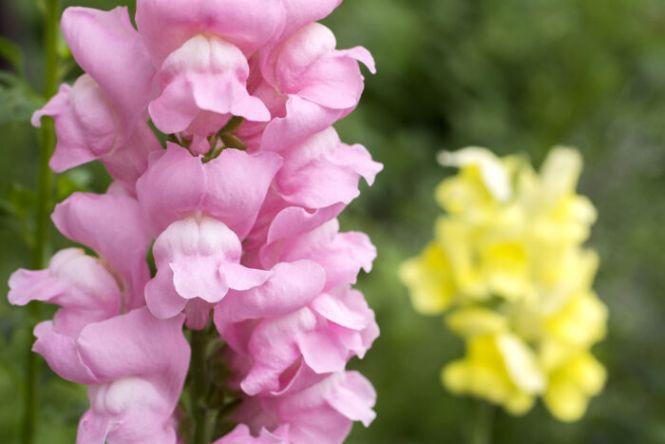 snapdragon flowers  flower, Natural flower