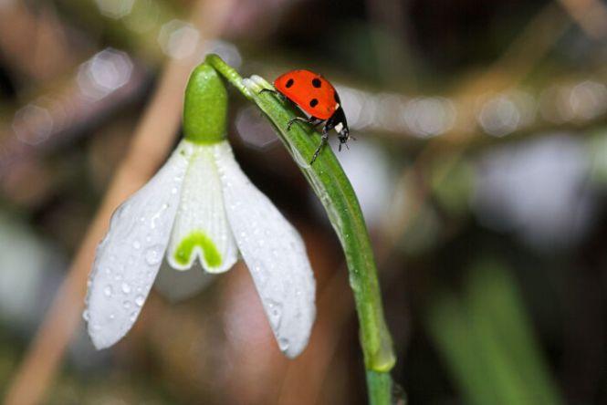 snow drop flower  flower, Natural flower