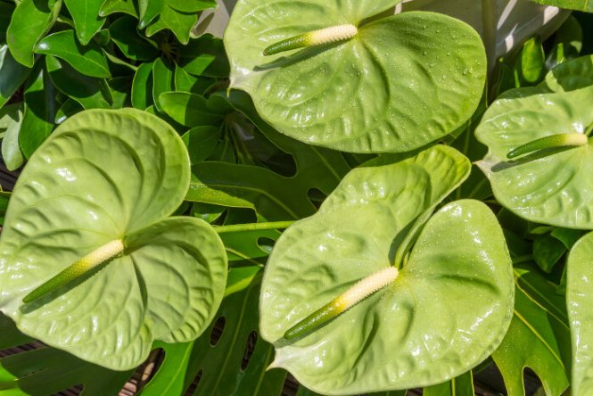 anthurium green flowers  flower, Natural flower