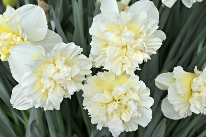 Ironstone Fluffy Daffodil, FlowerPatchFarmhouse.com