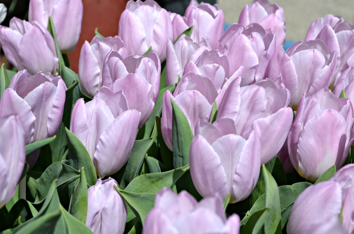 Ironstone lilac tulips, FlowerPatchFarmhouse.com