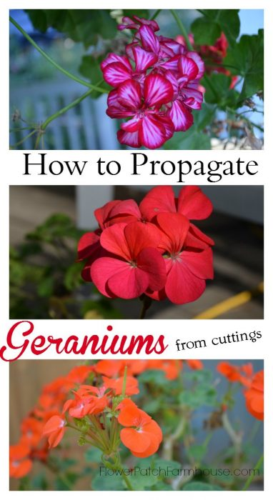 How to propagate zonal geraniums (aka Pelargoniums) by rooting cuttings, so easy and fun. FlowerPatchFarmhouse.com