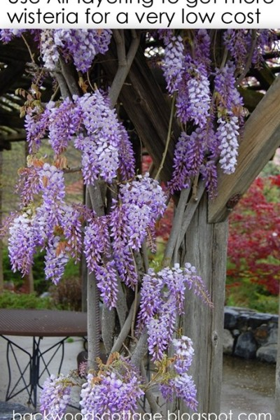 Layering for propagating Wisteria, Japanese Maples etc