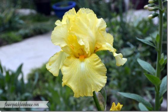 lemon chiffon iris2560