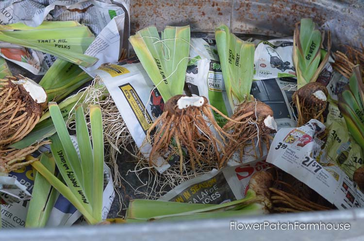 iris rhizomes in metal tub, How to Plant Iris, Flower Patch Farmhouse