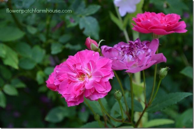 Demitasse rose