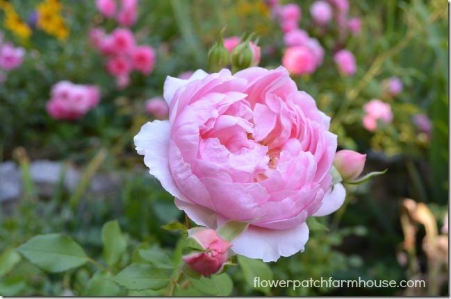 Anne Boelyn David Austin rose, Flower Patch Farmhouse.com
