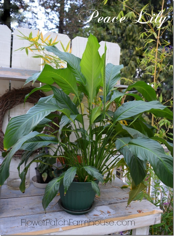 peace lily save