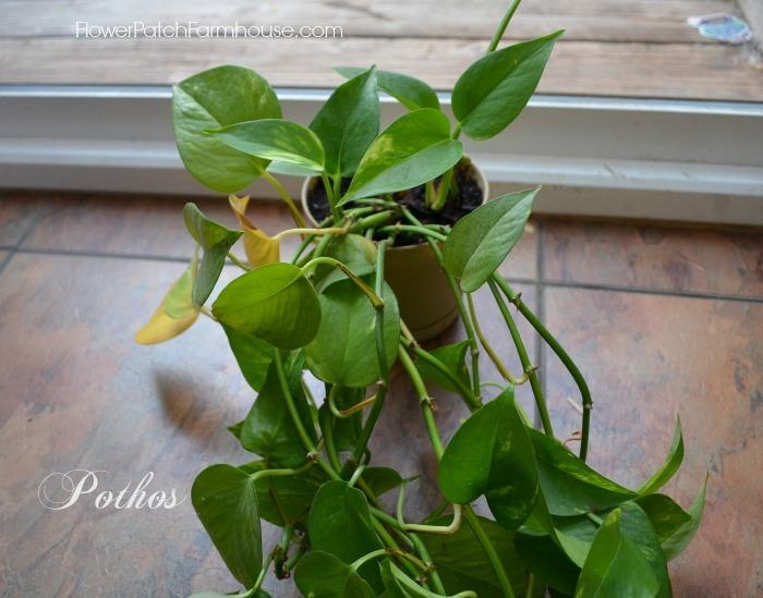 Pothos plant, houseplants for skin,