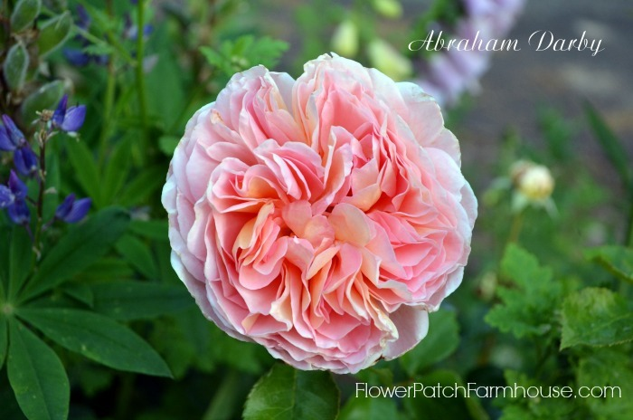 Roses are Easy to Grow, don't believe all the misinformation about roses being difficult, learn how you can grow roses too! Abraham-Darby7.jpg