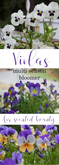 violas for winter cheer, a sweet scented bloomer that likes it cool
