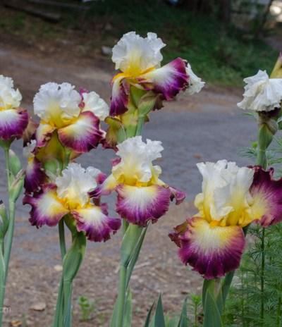 Iris, my Spring Beauties