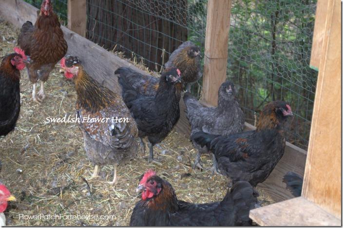 chicksgrownup7