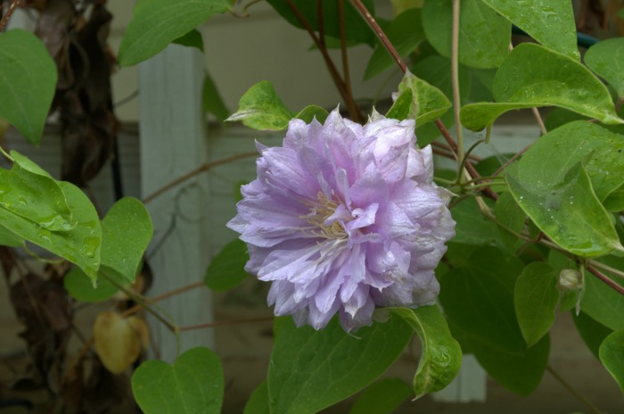 fluffyclematis