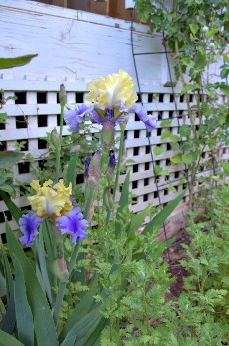 iris lavender yellow
