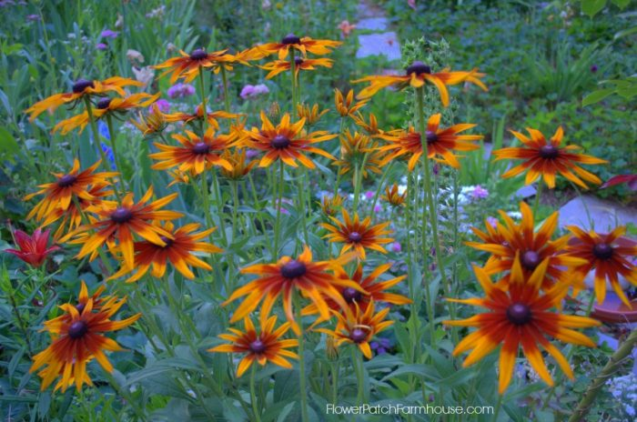 Black Eye Susan Amber12