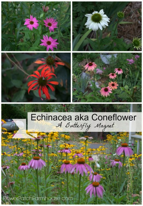 Echinacea, a Grand Garden Flower and Butterfly Magnet - Flower Patch ...