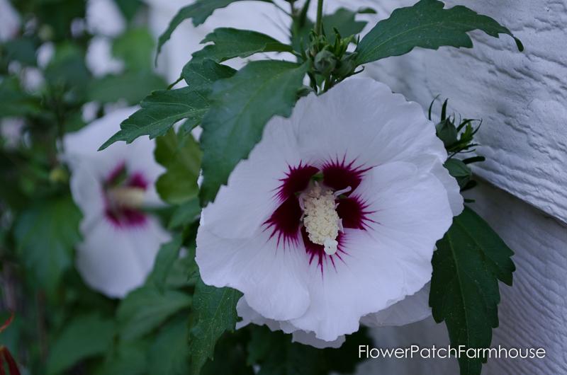 Rose Mallow Hibiscus