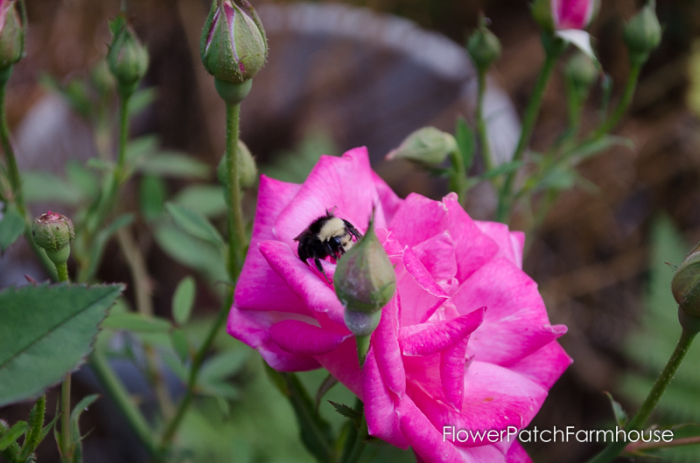 vintage rose (Pams Pink) and a bumblebee, plant a bee friendly garden, create a hospitable place for them to gather pollen and nectar and make for a much better garden for you