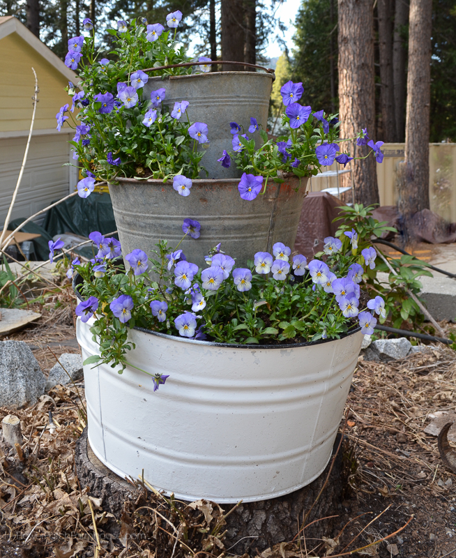 Old Buckets and Violas www.flowerpatchfarmhouse.com