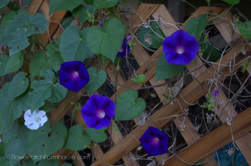 Morning Glories 8, FlowerPatchFarmhouse.com