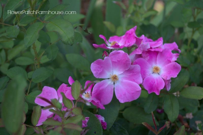 Nearly Wild Rose 8, FlowerPatchFarmhouse.com