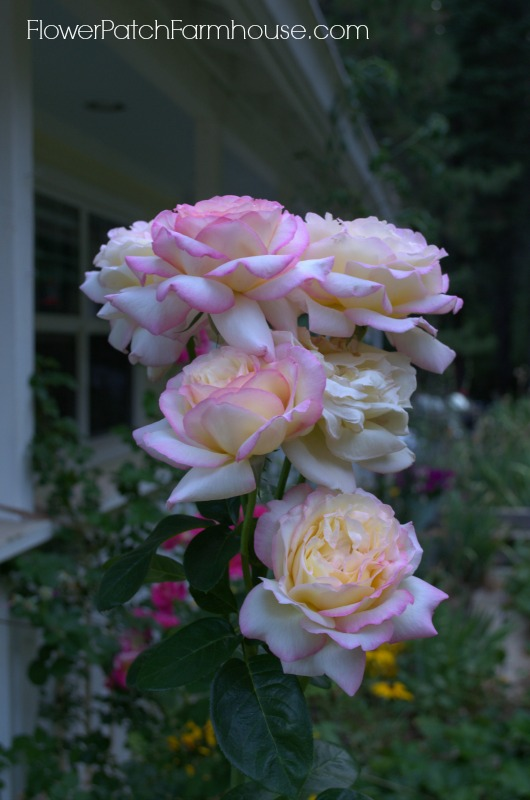 Peace Rose 28, FlowerPatchFarmhouse.com
