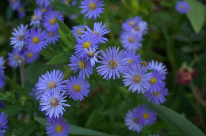 blue asters, FlowerPatchFarmhouse.com