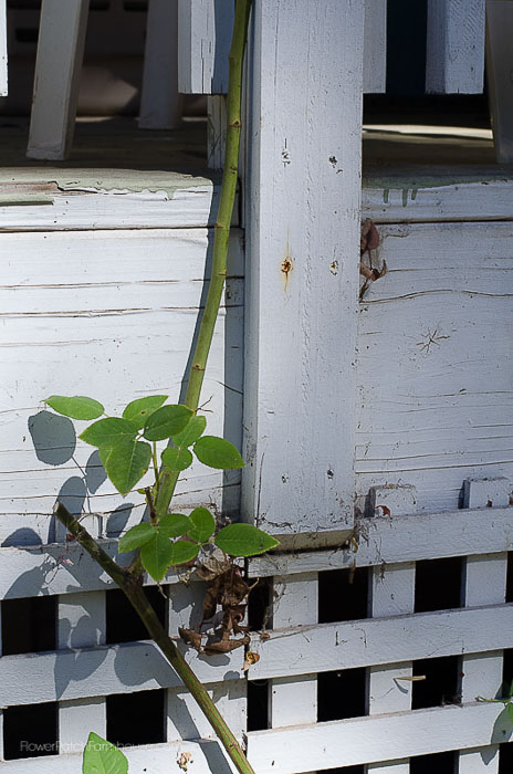 Main cane, Zepherine climbing rose in Fall, How to Prune Climbing Roses for optimum bloom