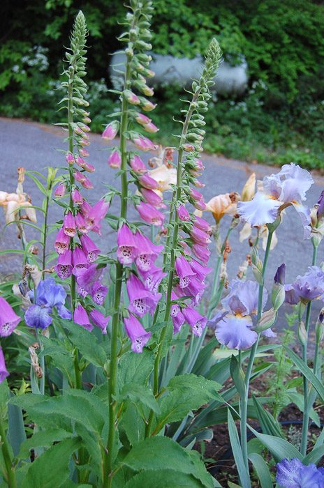 How to Grow Foxgloves, FlowerPatchFarmhouse.com (1 of 27)
